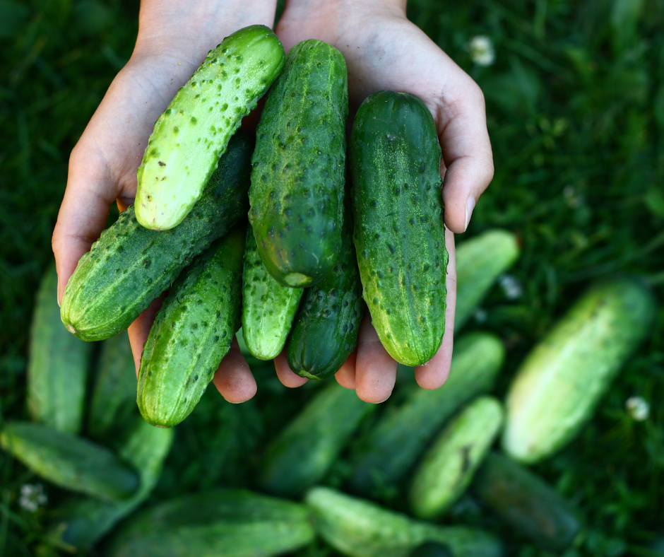 hand out full of green cucumbers